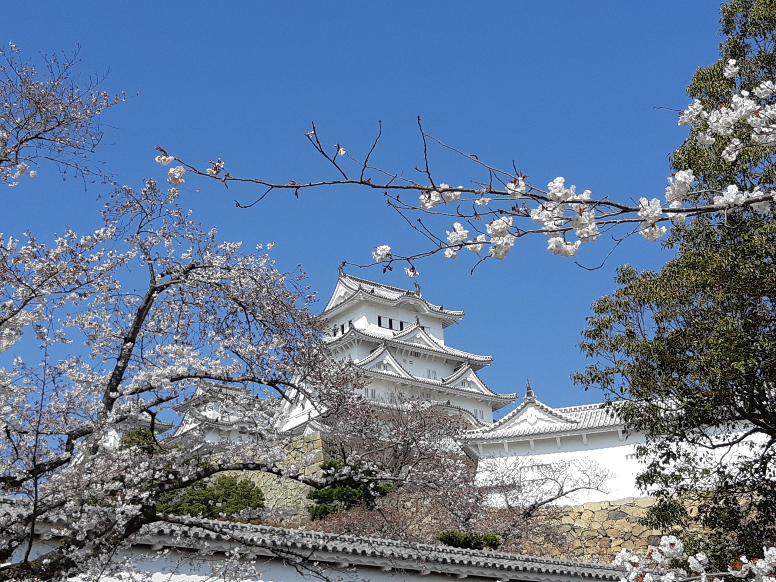 Himeji latéral cerisier