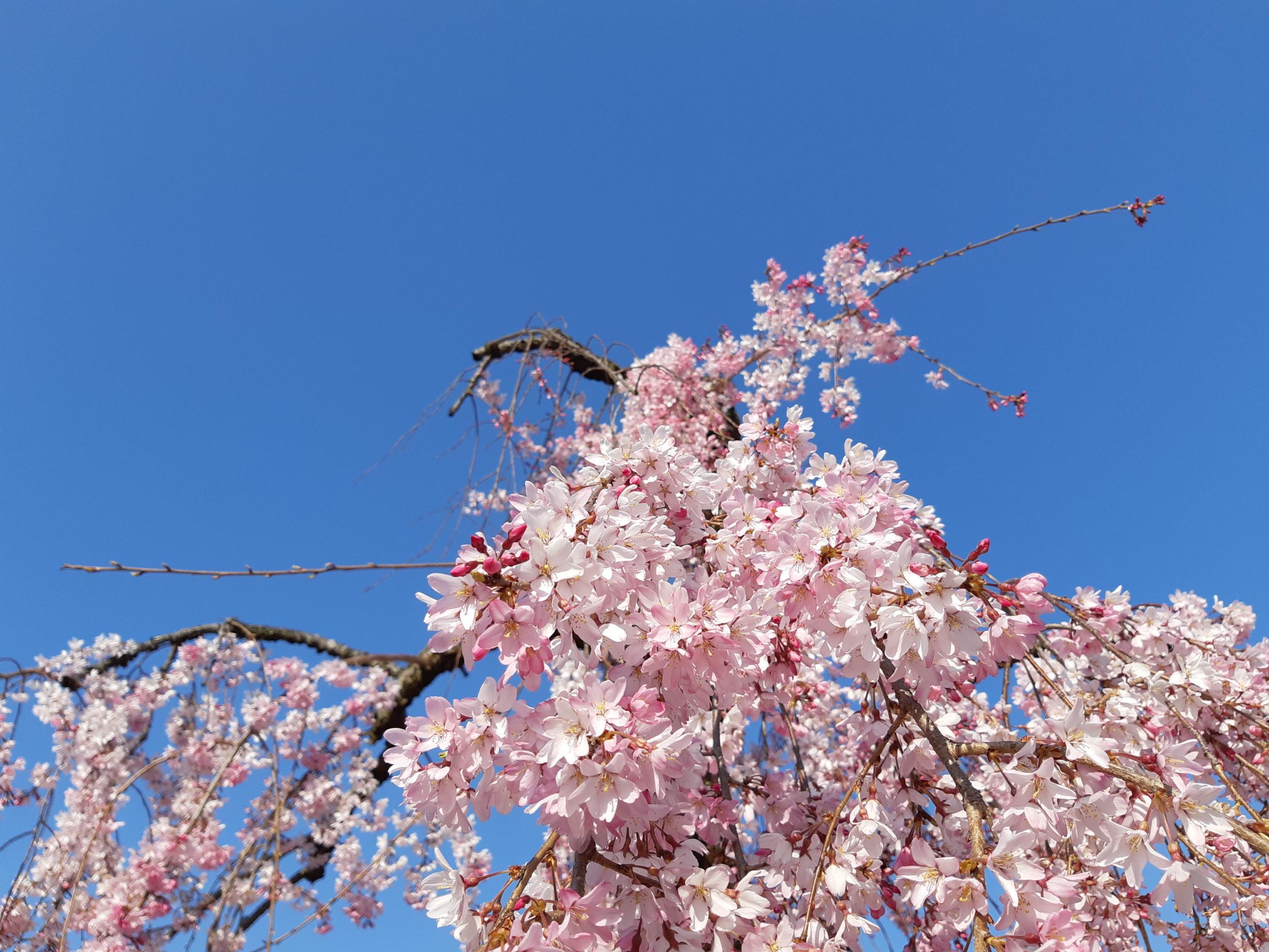 Sakura Ciel