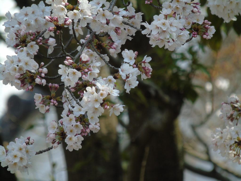 sakura okayama