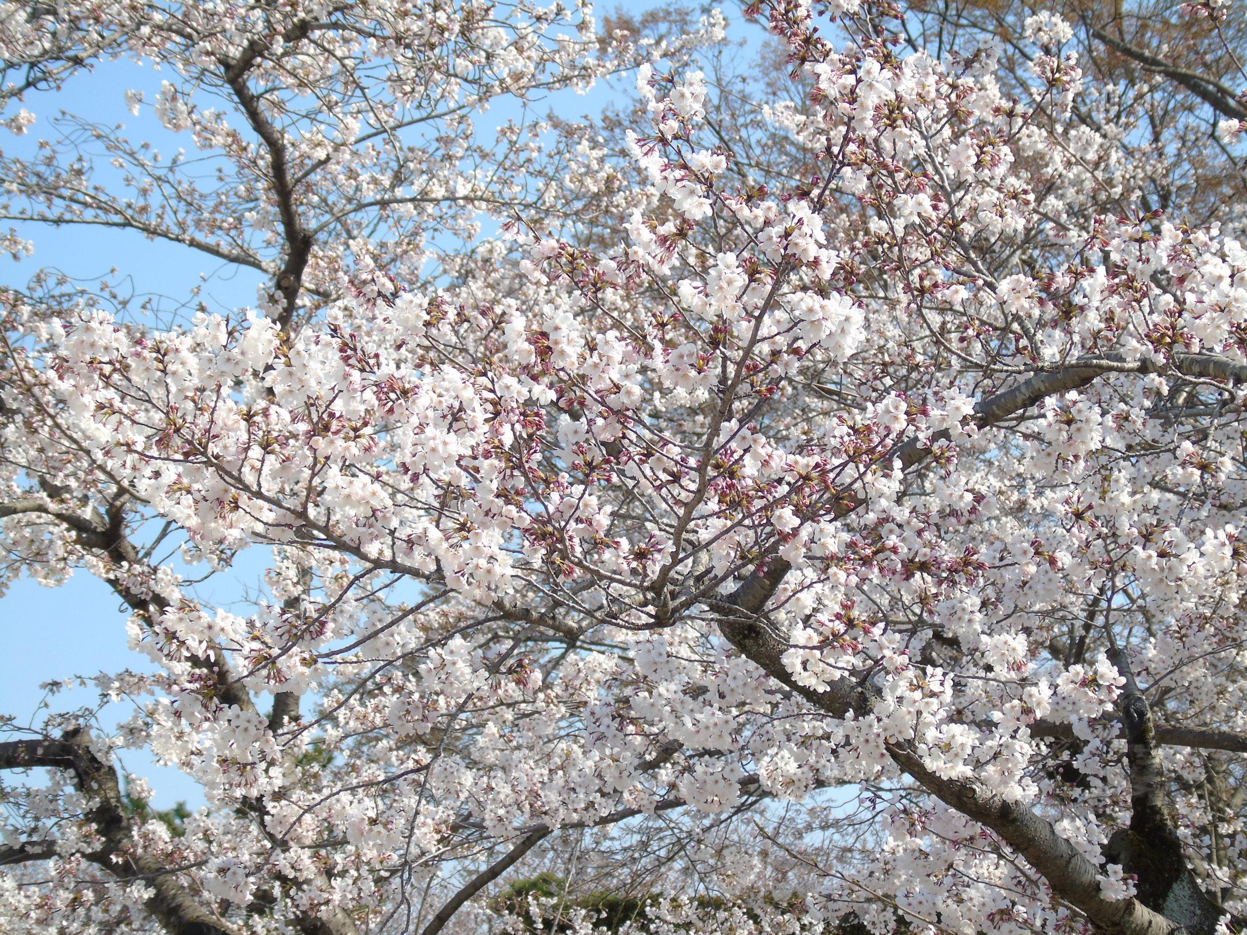 sakura rose blanc