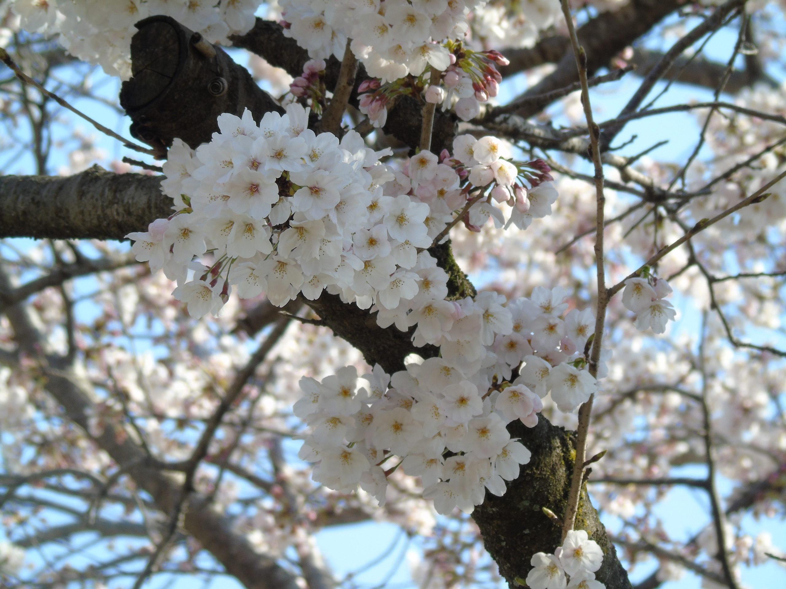 Branche sakura contre plongée zoom