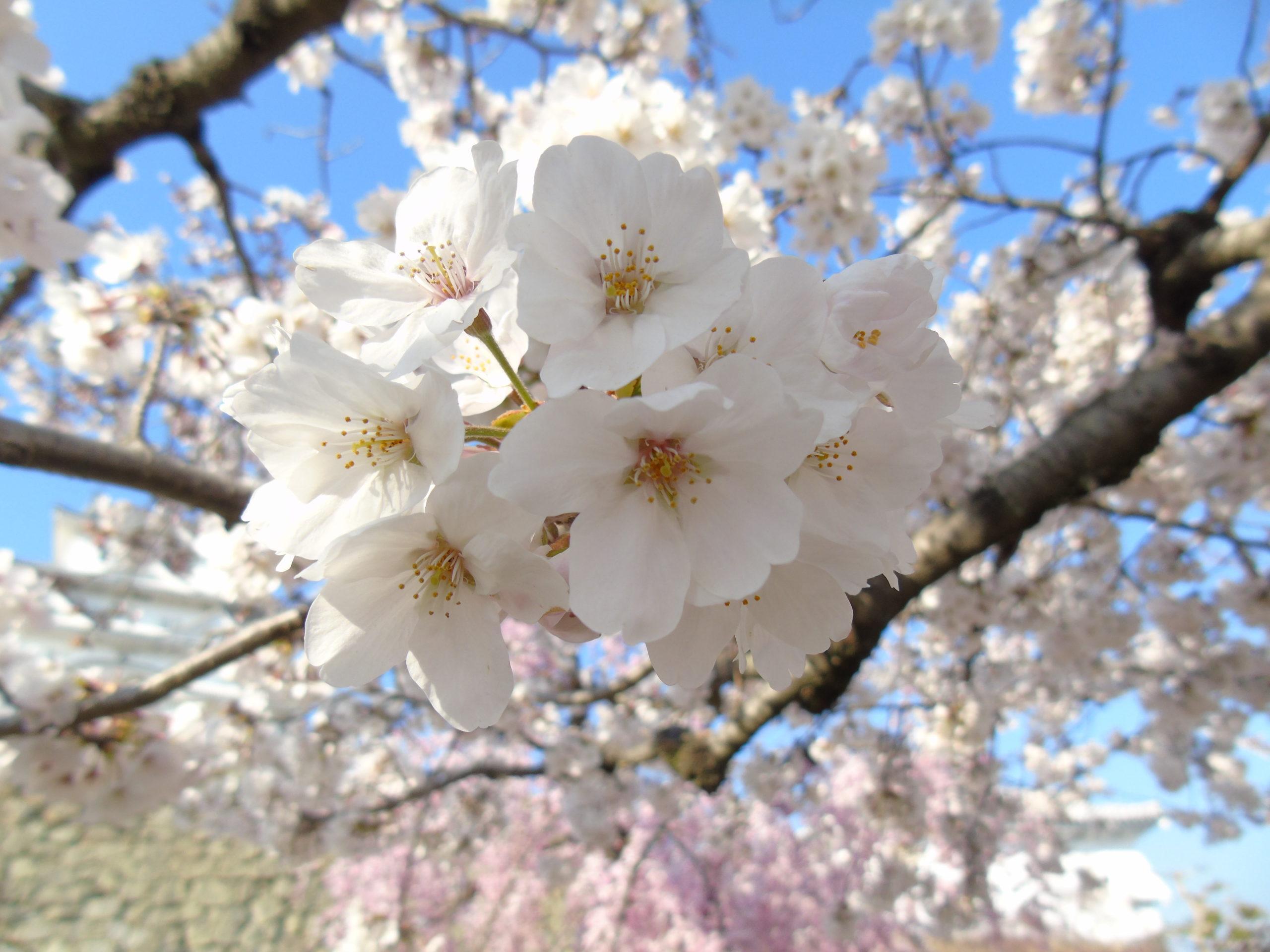 Sakura Blanc zoom
