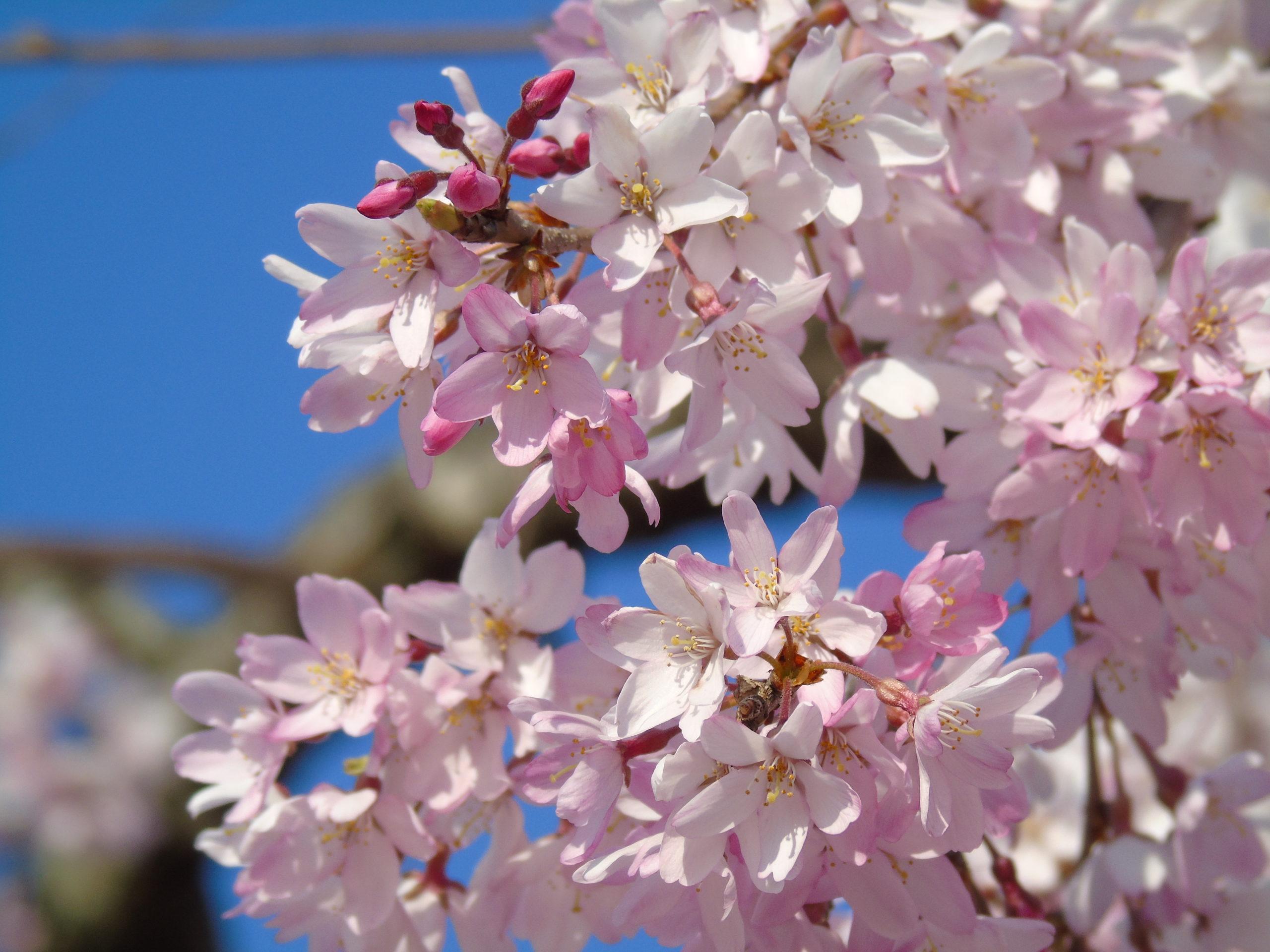 Sakura rose Zoom