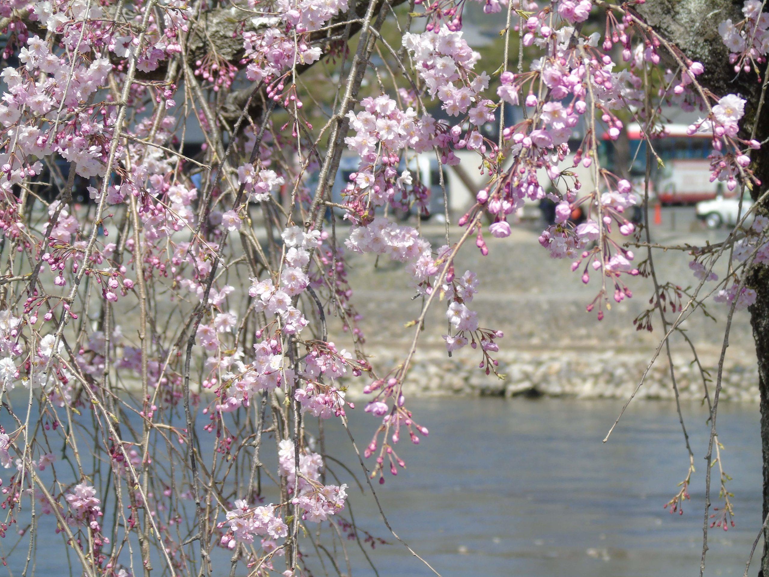 Arashiyama sakura pleureurs