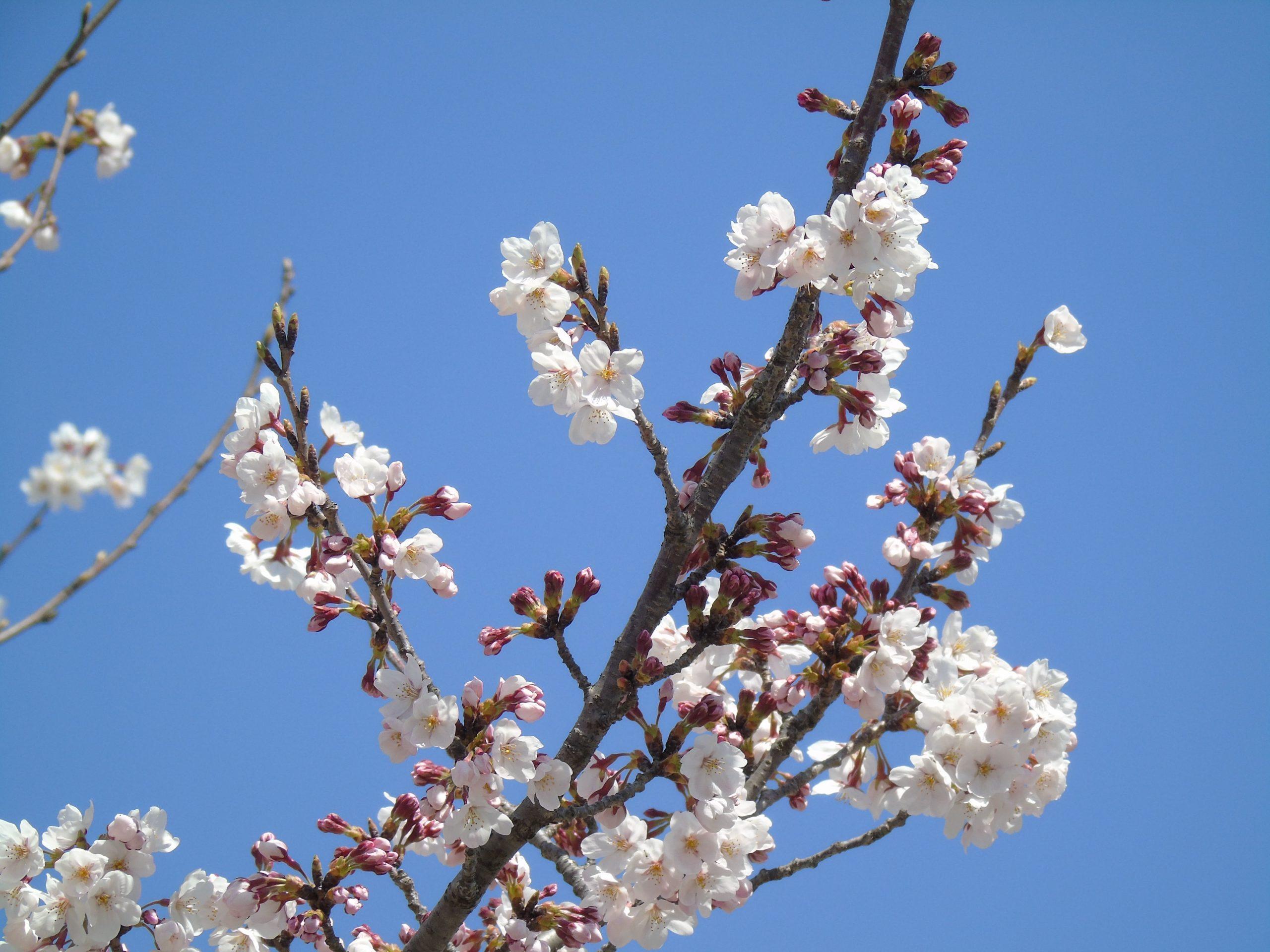 Sakura ciel bleu